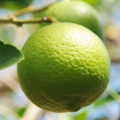 Lime, Steam Distilled Essential Oil