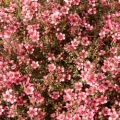 Manuka Essential Oil, East Cape
