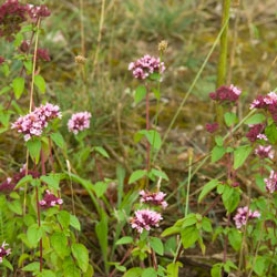 Marjoram, Sweet Essential Oil