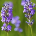 Lavender Essential Oil - South Africa