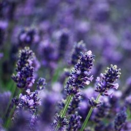Lavender Essential Oil - Bulgaria