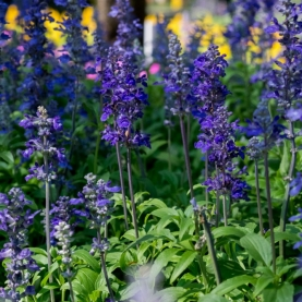 Lavender Essential Oil - England