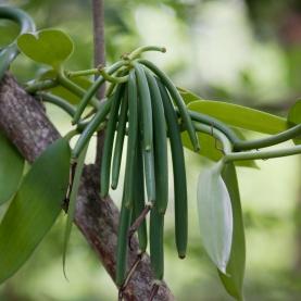 Vanilla Co2 Extract - Organic