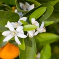 Neroli/Petitgrain co-distill Essential Oil