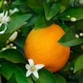 Orange, Sweet Essential Oil - Cleaning