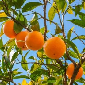 Orange, Steam Distilled Essential Oil