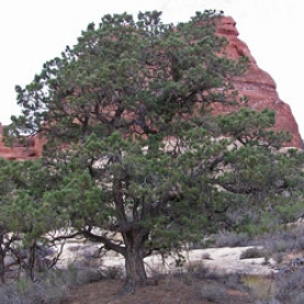 Pinon Pine Essential Oil - Utah