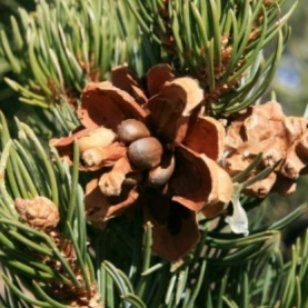 Pinon Pine Essential Oil - Infused with Resin - Limited Reserve