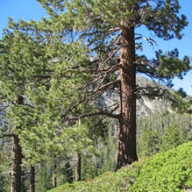 Ponderosa Pine Essential Oil