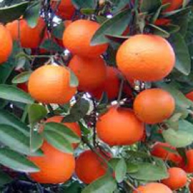 Mandarin, Red Essential Oil