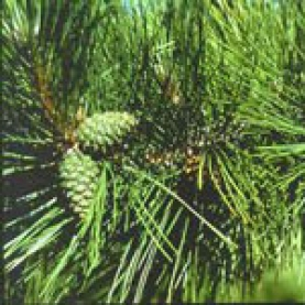 Red Pine (Norway Pine) Essential Oil