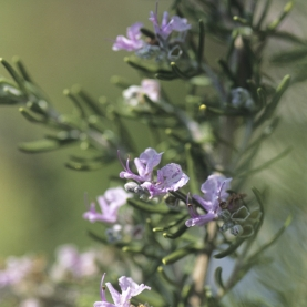 Rosemary Cineole (Tuscan Blue) Essential Oil