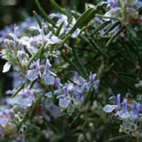 Rosemary verbenone Essential Oil - S.Africa