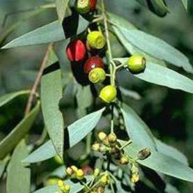 Sandalwood lancelatum Essential Oil - Australia