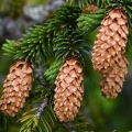 Sitka Spruce Essential Oil