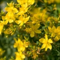 St. John's Wort Infused Oil - Organic