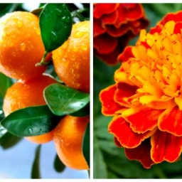 Tangerine - Tagetes  (T and T) Specialty Blend