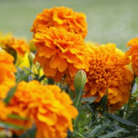 Tagetes (Marigold) Essential Oil