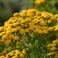 Wild Tansy Essential Oil
