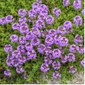 Thyme ct linalol Essential Oil