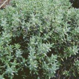 Thyme ct geraniol Essential Oil