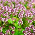 Marjoram, Spanish Essential Oil
