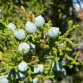 Juniper, Utah Essential Oil Special Distillation