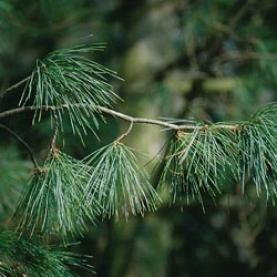 White Pine Essential Oil