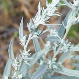 White Sage Essential Oil