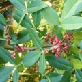 Xanthoxylum Essential Oil