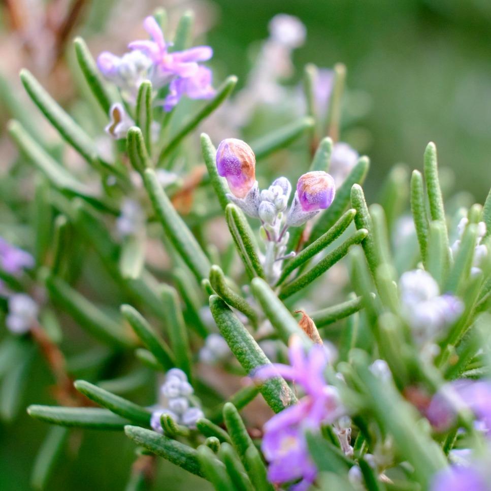Rosemary Flower Essence Stillpoint Aromatics
