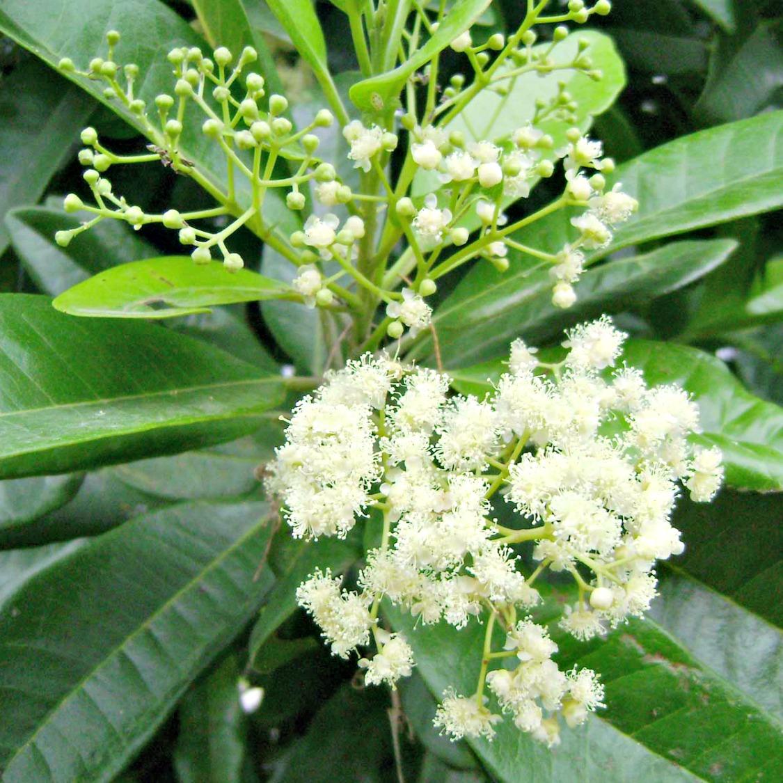 Pimento Berry West Indian Bay Essential Oil Stillpoint Aromatics