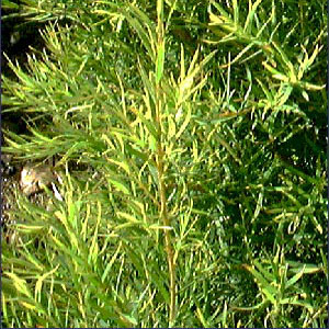 tea tree oil essential melaleuca stillpointaromatics